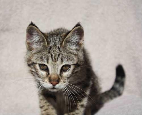 Savannah Cats Or Kittens Sale In California Breeder