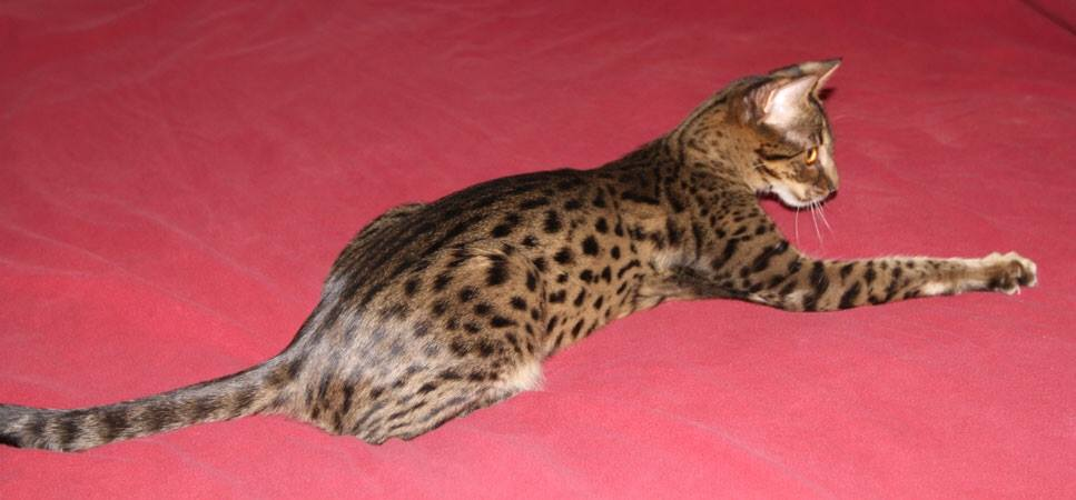 Toyger Breeders Indiana Related Keywords & Suggestions