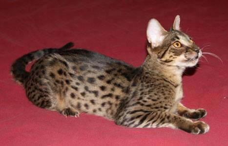 Bengal Cats For Sale In York Pa