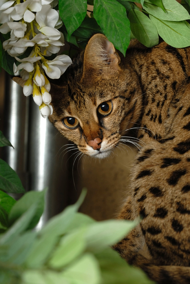 Picture of Savannah Cat - VegasSavannahs