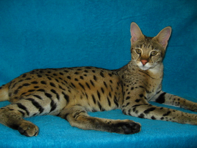 Savannah Cats For Sale In Lancaster Pa