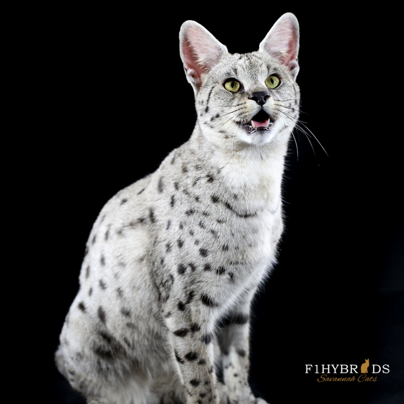 Cross Breeding Bengal And Savannah Cats
