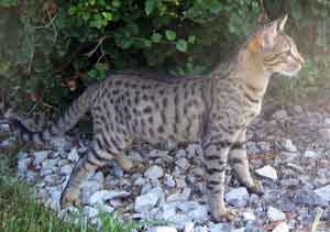 Bengal kittens for sale minneapolis mn