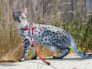 Savannah Cat Breeders Savannah Cats Bengal Cats For Sale
