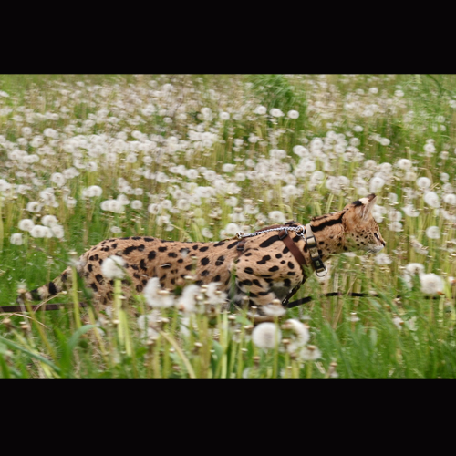 Picture of Savannah Cat - Savannah Pride