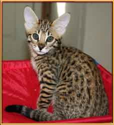Picture of Savannah Cat - Diamond Acres Ranch
