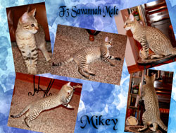 Picture of Savannah Cat - Sumatra Cattery - Bengals and Savannahs
