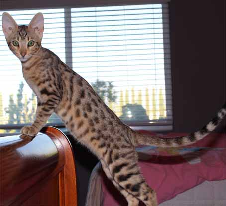 Bengal Cat For Sale Los Angeles