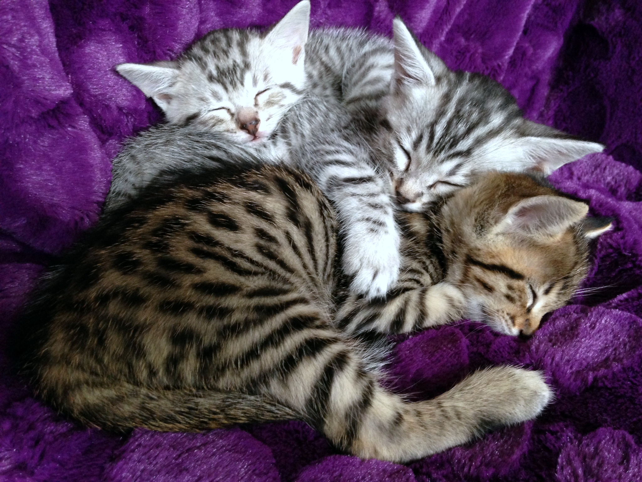 Bengal Cats For Sale Savannah Kittens For Sale Bengal Cat