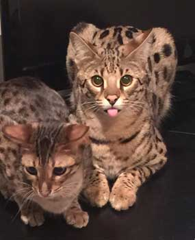 Bengal kittens for sale harrisburg pa