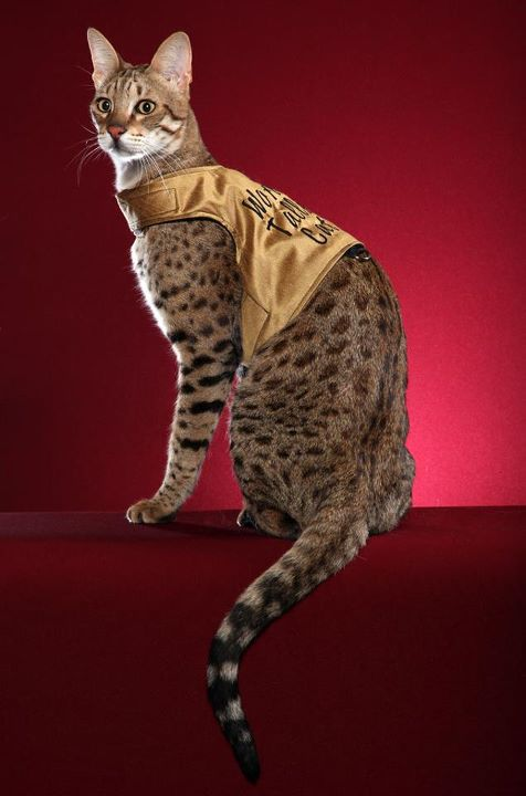 Picture of Savannah Cat - Savannah Island