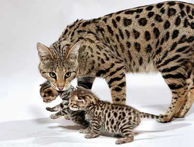 Savannah+Cat